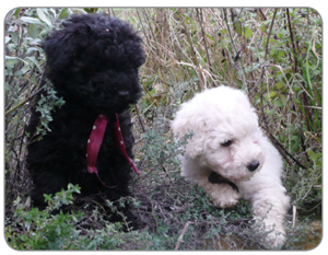 Thinking Of Buying A Puli Puppy The Hungarian Puli Club